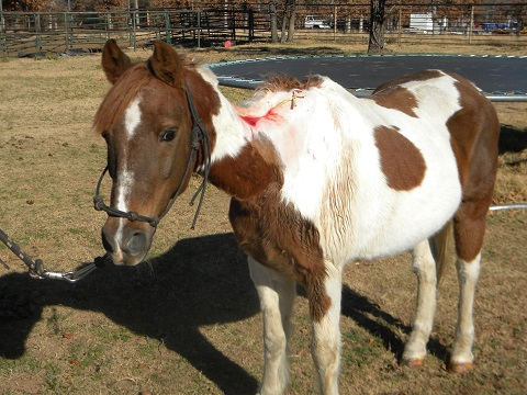 Maximus Came From The Oklahoma City Animal Welfare Division As A Cruelty Case Is Beautiful Sorrel White Paint Pony Gelding